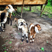 How to be a handmade hero: Part 3.1 – Kids, goats, bad jokes and home gardens